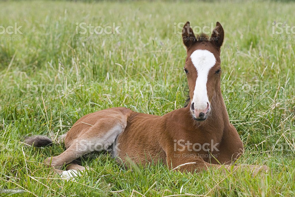 Resting Chestnut Thoroughbred Foal stock photo