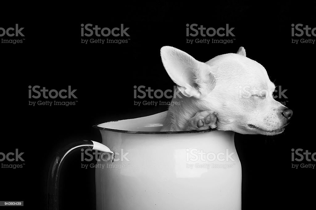 Resting Chihuahua - Black and White royalty-free stock photo