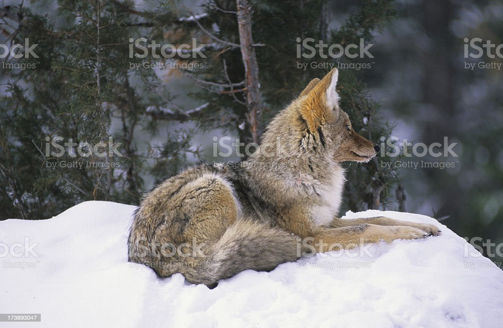 Resting Coyote stock photo