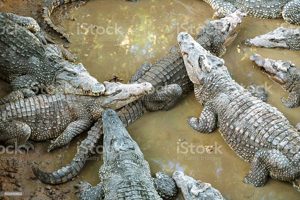 Resting Crocodiles stock photo