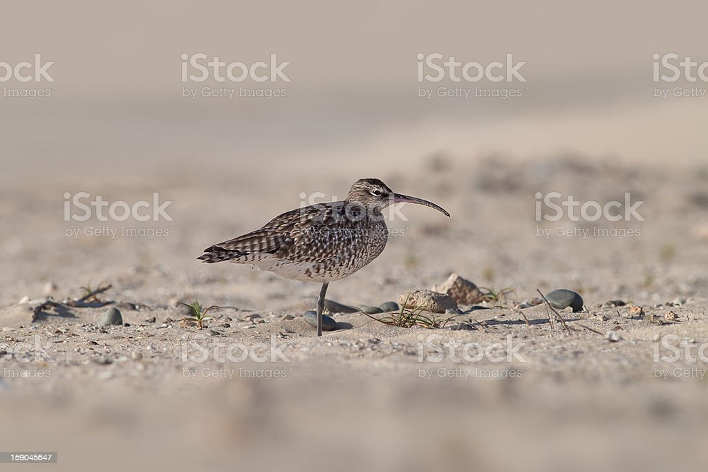 Resting Curlew stock photo