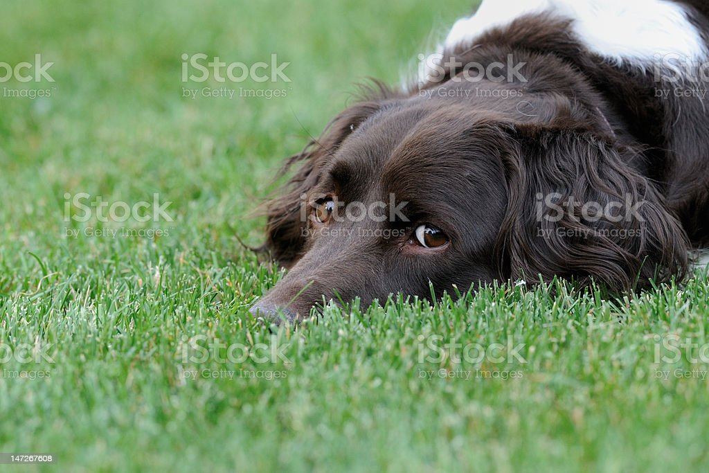 Resting Dog in Green Grass stock photo
