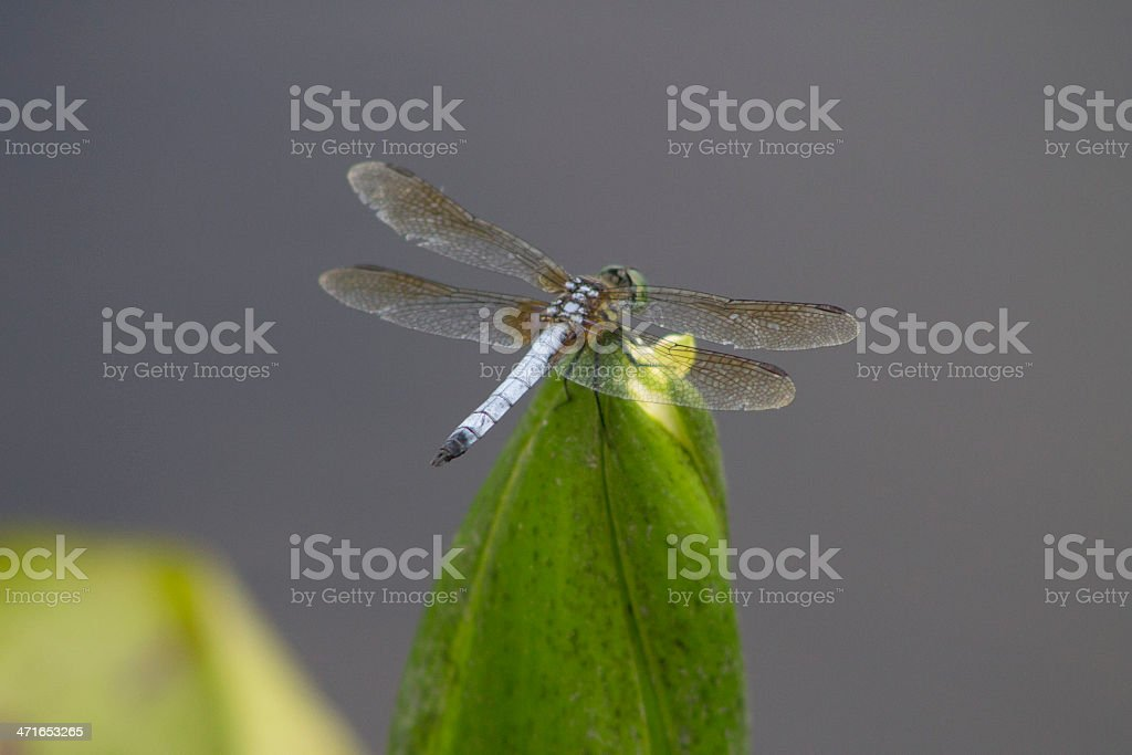 Resting Dragon Fly stock photo
