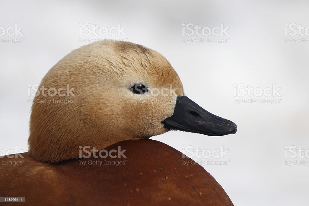 Resting duck stock photo