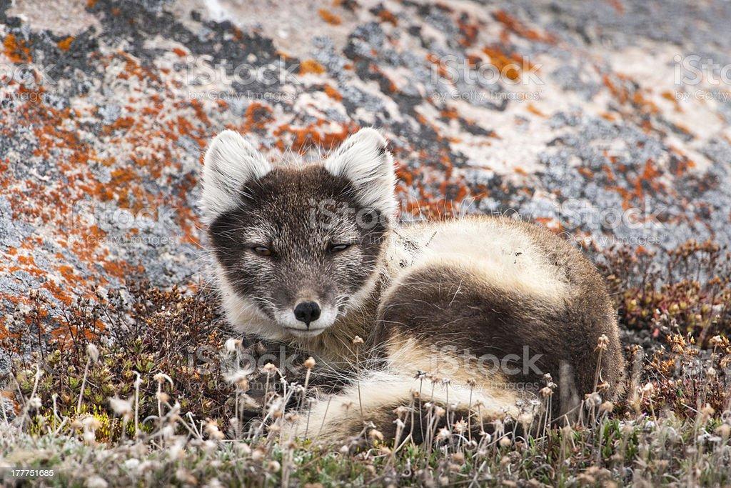 Resting Female Arctic Fox stock photo