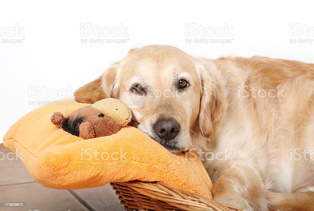 Resting golden retriever with pillow stock photo