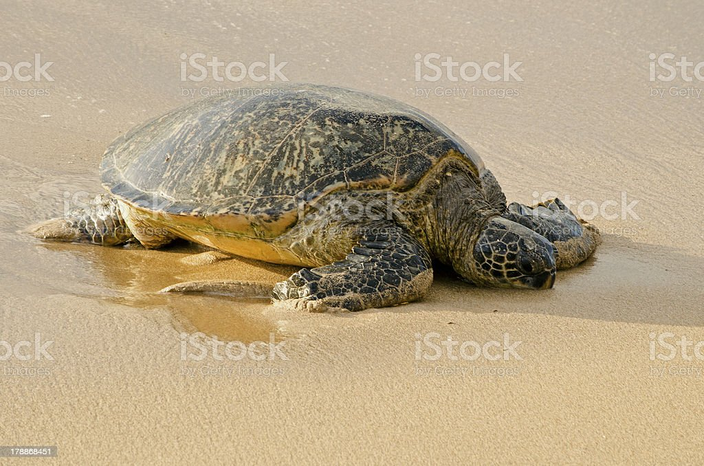 Resting Green Sea Turtle royalty-free stock photo