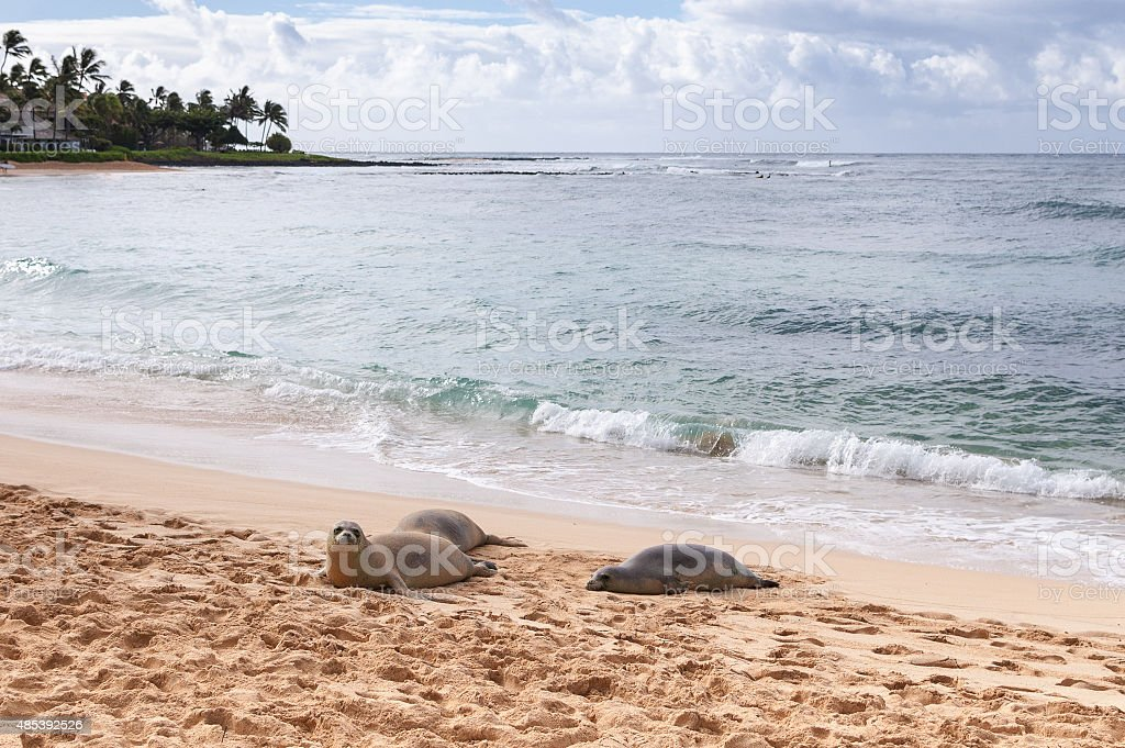 Resting Hawaiian Monk Seals on Poipu Beach, Kauai, Hawaii stock photo