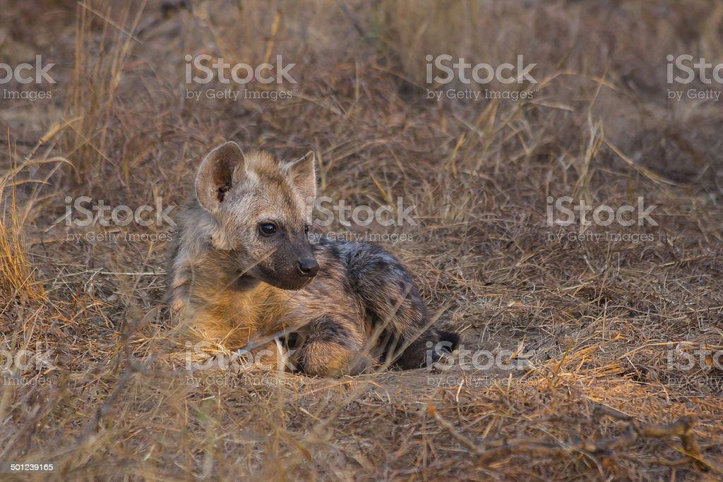 Resting hyena pup stock photo