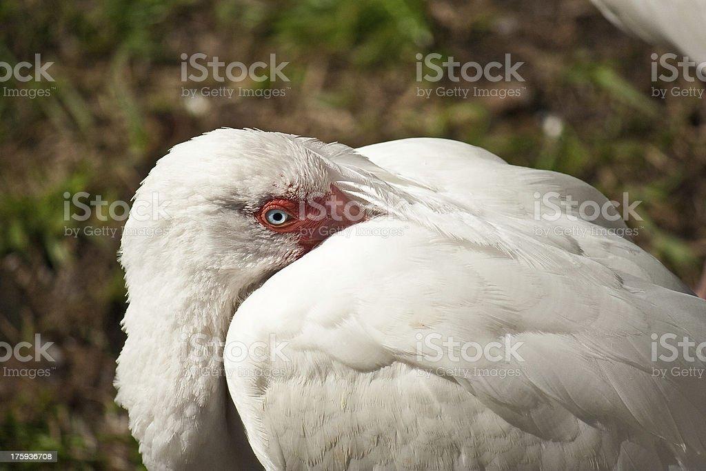 Resting Ibis stock photo