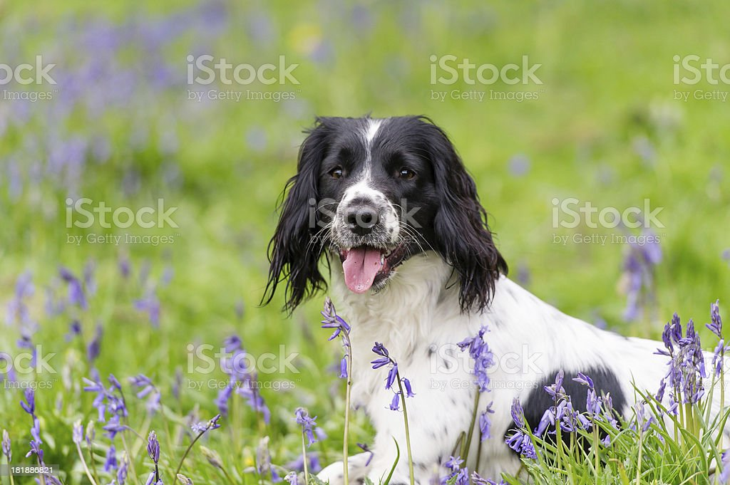 Resting in the bluebells royalty-free stock photo