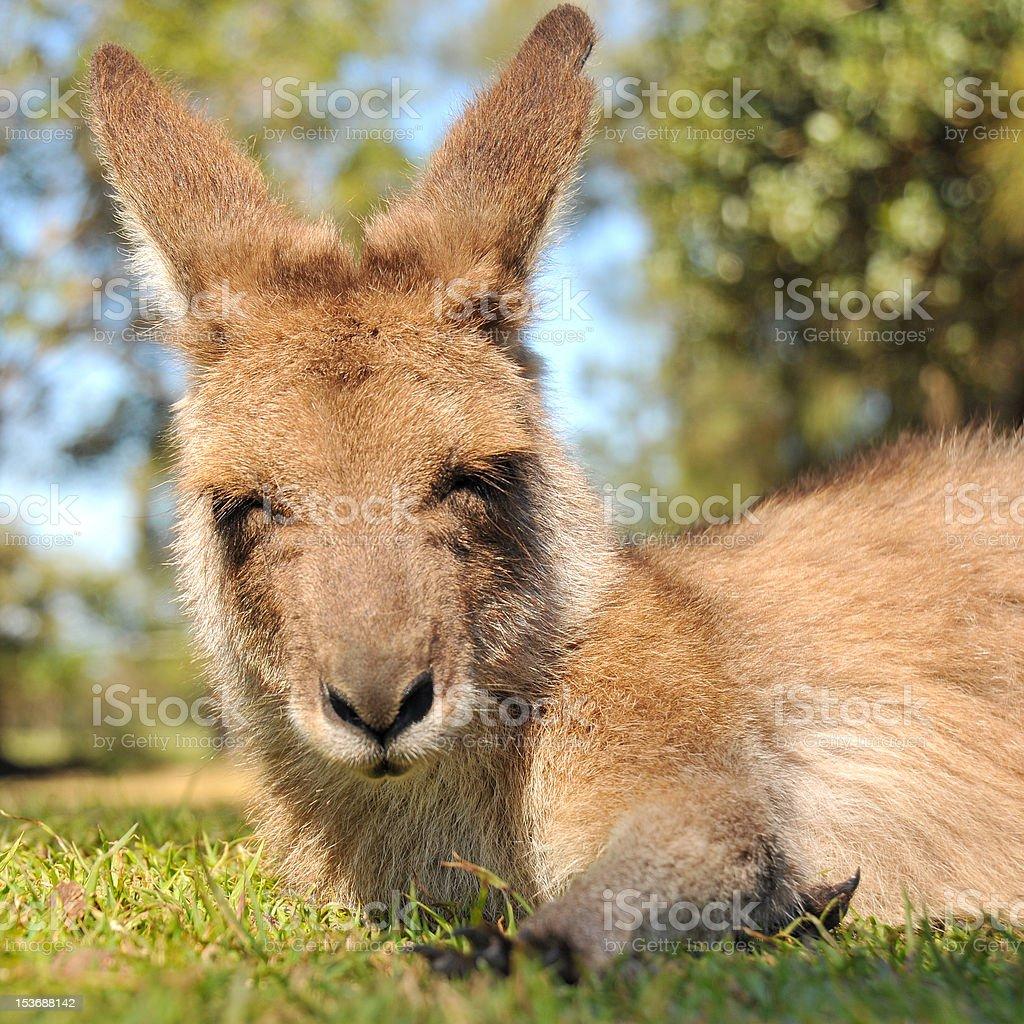 Resting kangaroo with closed eyes stock photo