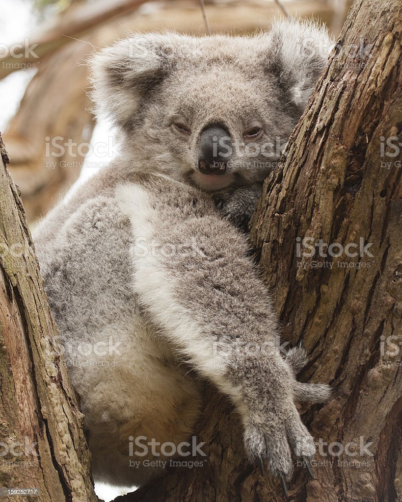 Resting koala royalty-free stock photo