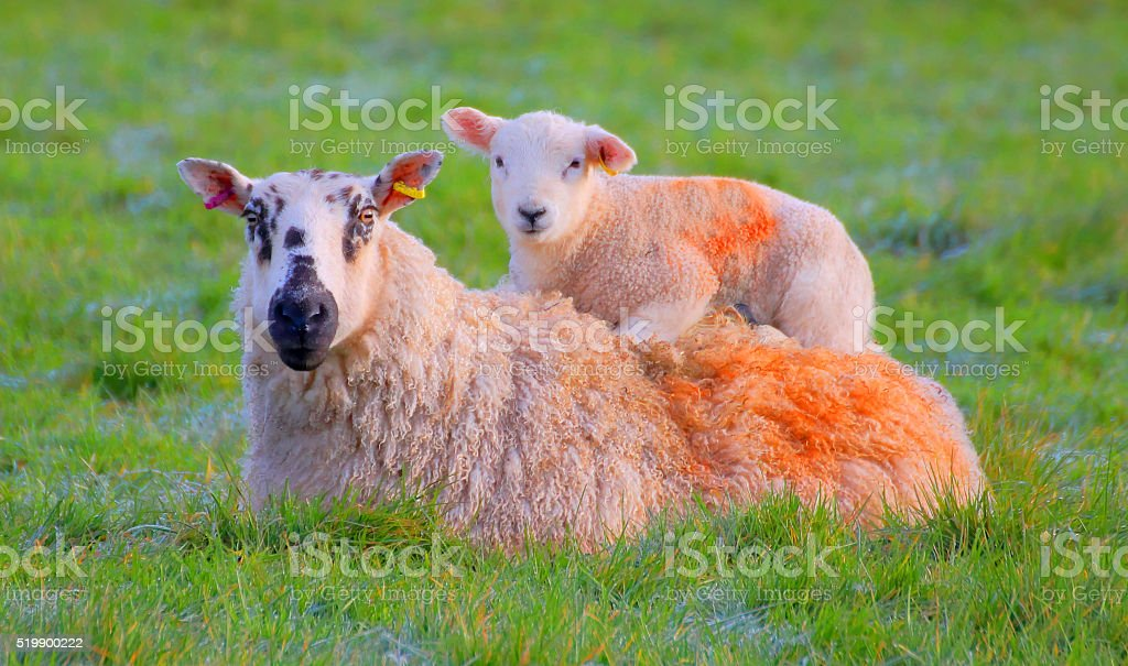 Resting lamb. stock photo