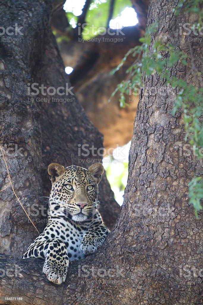 Resting leopard stock photo