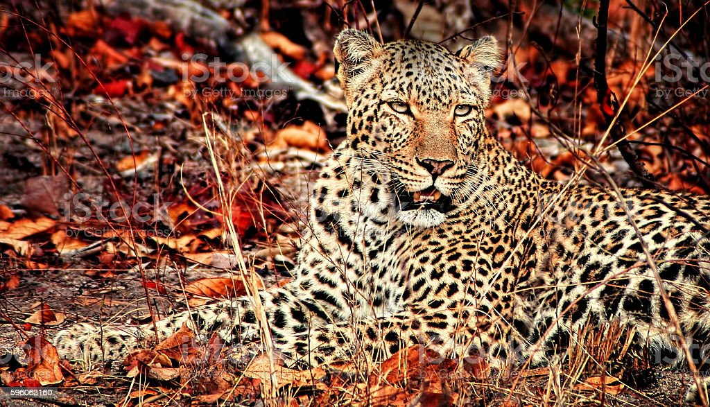 Resting Leopard with Autumn leaves Africa safari stock photo