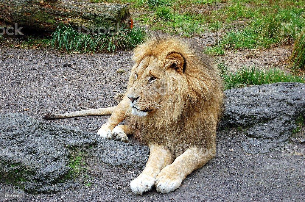 resting lion 5252 stock photo