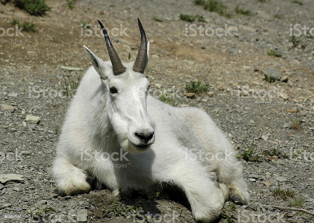 Resting Mountain Goat royalty-free stock photo