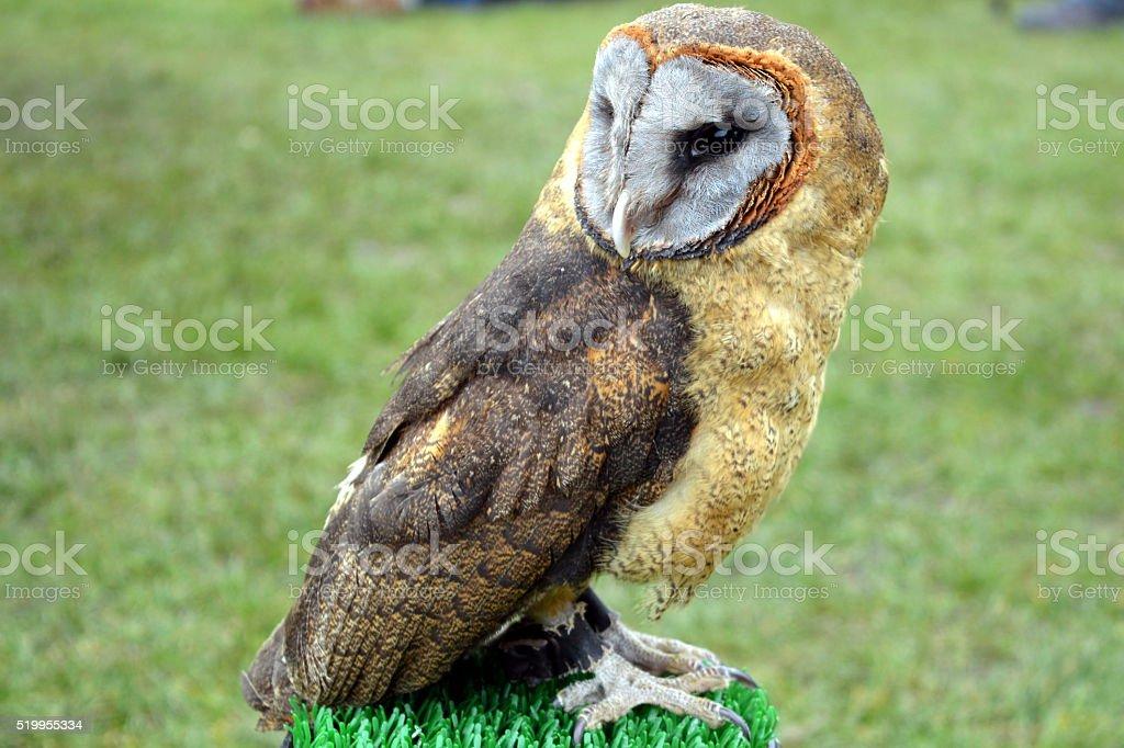 Resting Owl stock photo