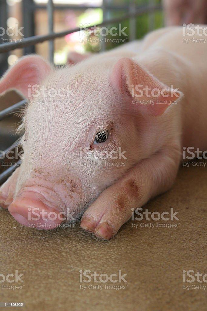 Resting Piglet royalty-free stock photo