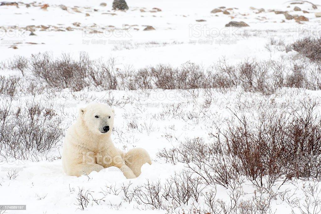 Resting Polar Bear stock photo