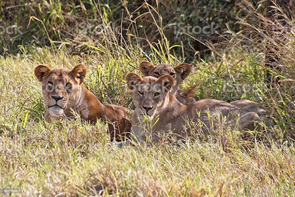 Resting Pride of Lions royalty-free stock photo