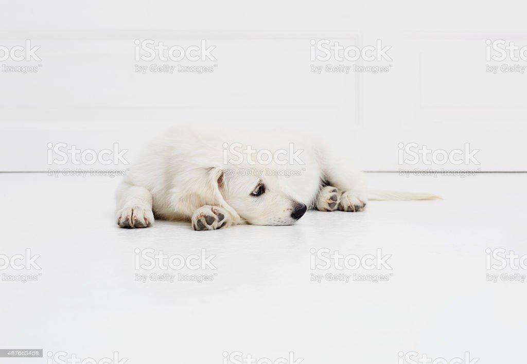 Resting puppy dog stock photo
