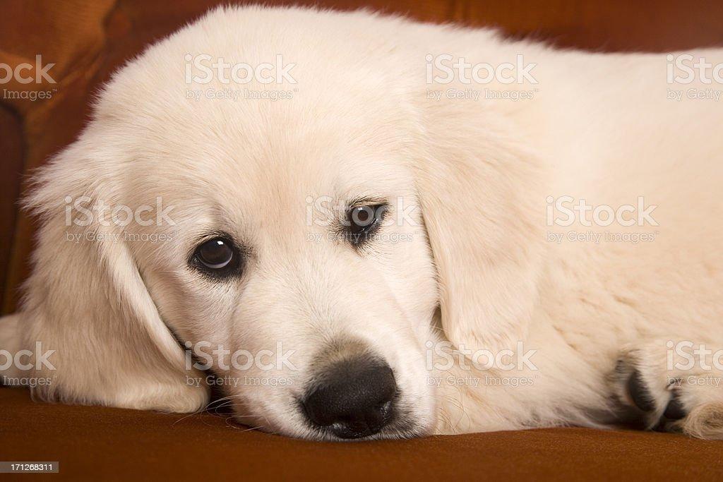 Resting Puppy stock photo