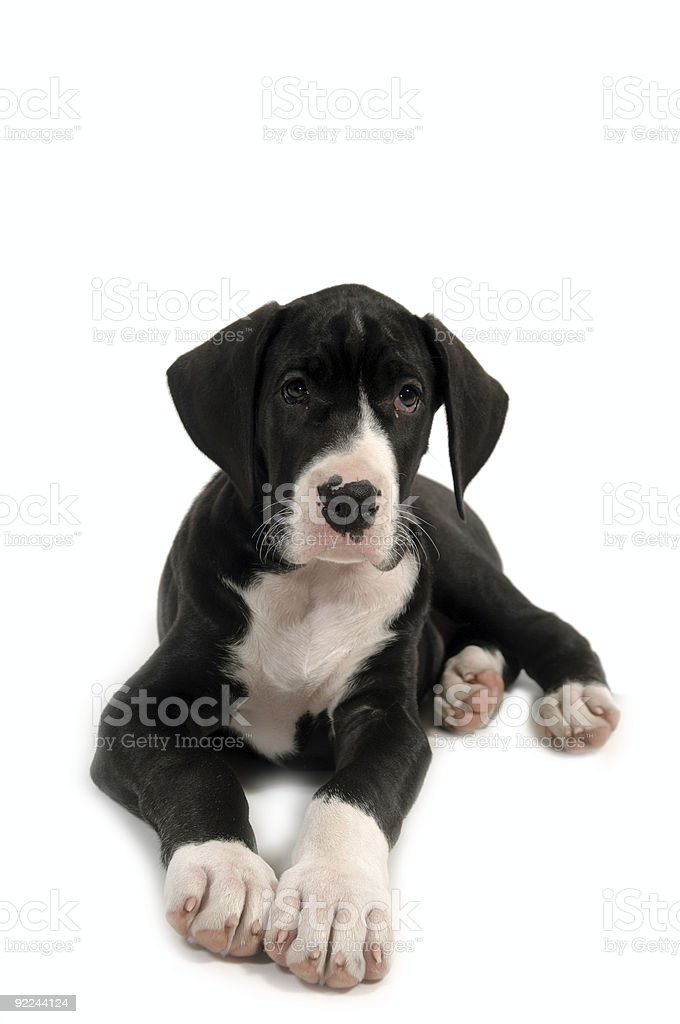 Resting puppy royalty-free stock photo
