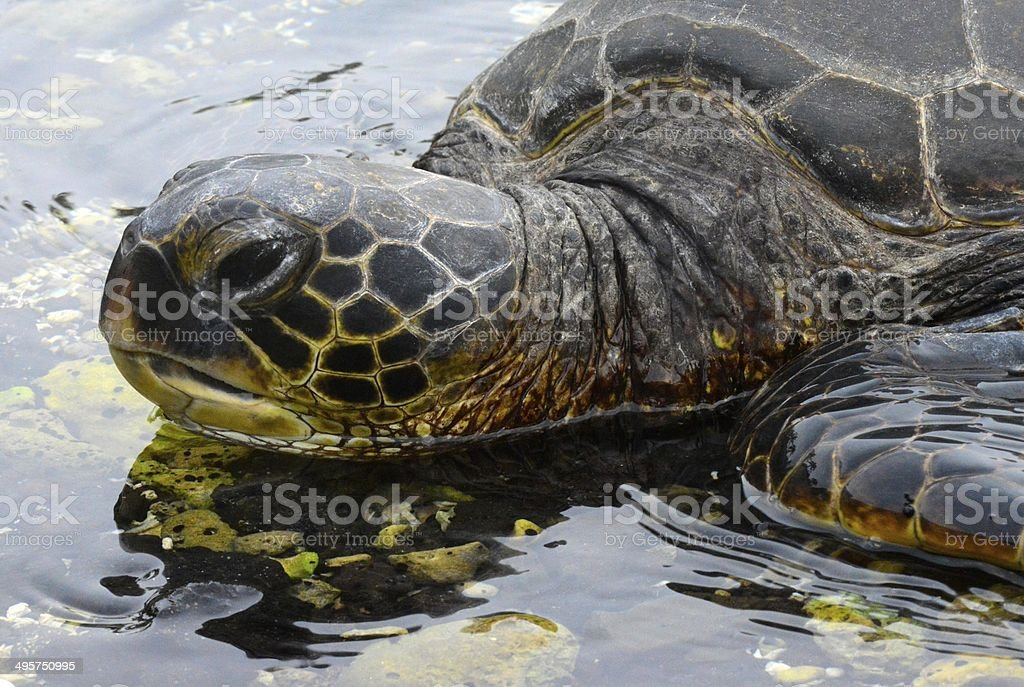 Resting Sea Turtle royalty-free stock photo