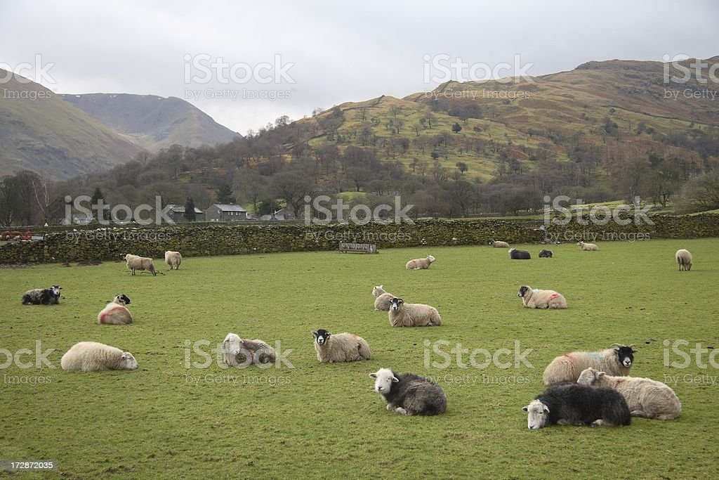 Resting sheep in English valley stock photo