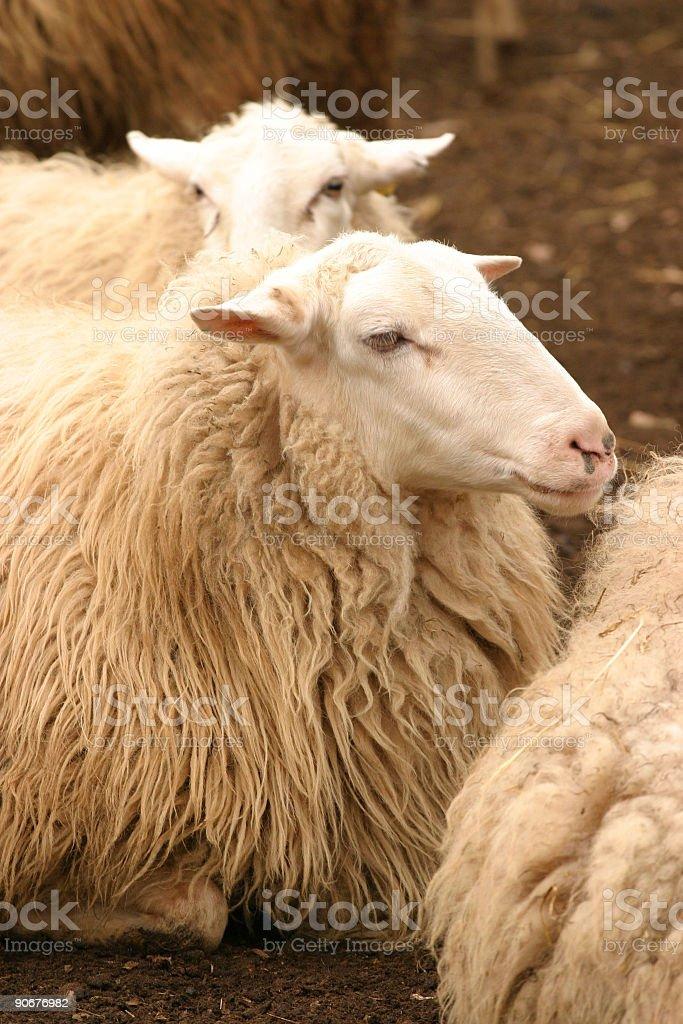 Resting sheep royalty-free stock photo