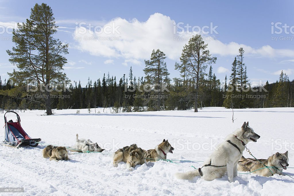 Resting sled dogs on track outdoors in snow royalty-free stock photo