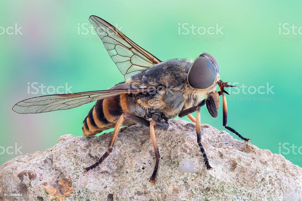Resting standing horse fly on a rock stock photo