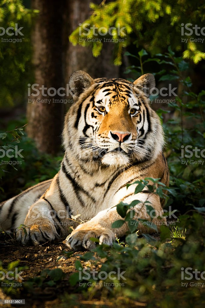 Resting tiger in forest late afternoon stock photo