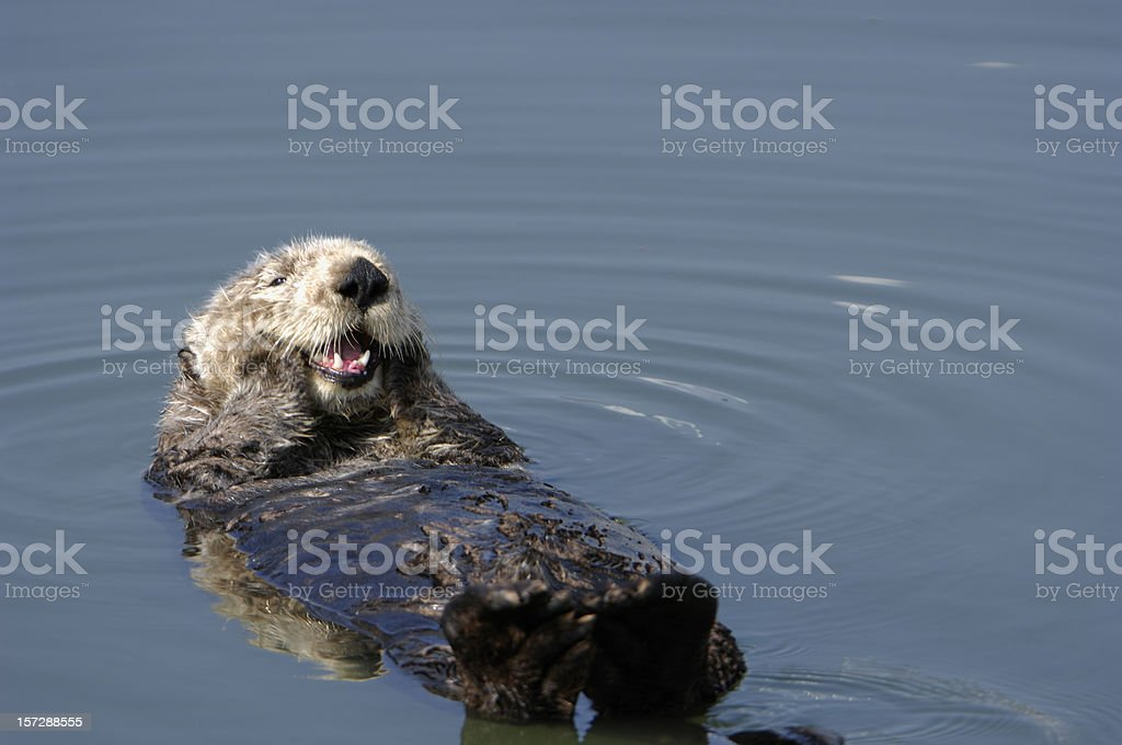Resting wild sea Otter pondering floating in water. stock photo