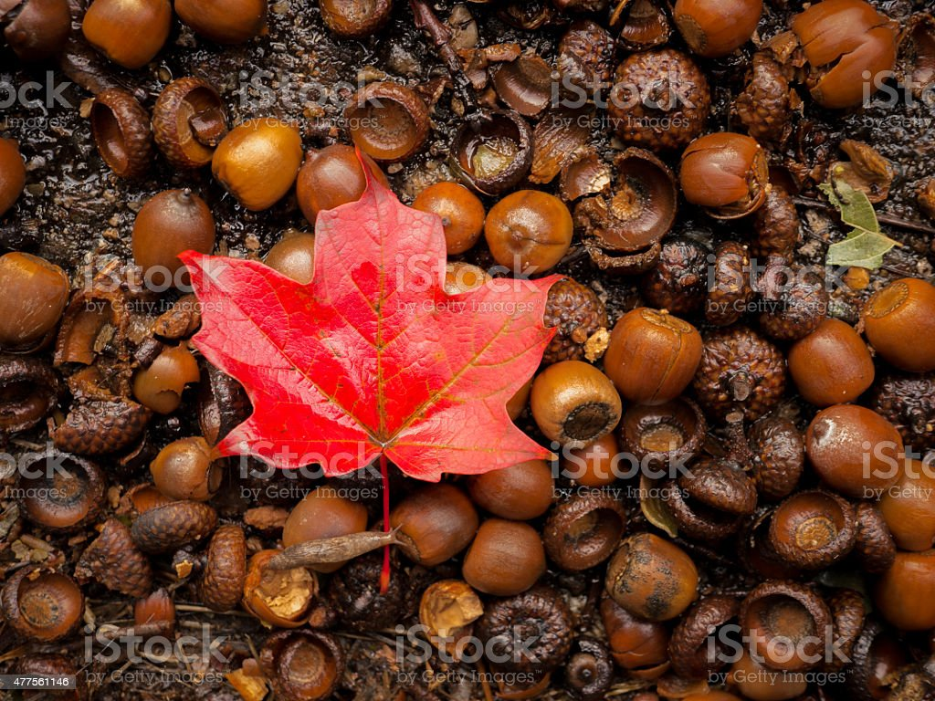 Resting With The Acorns stock photo