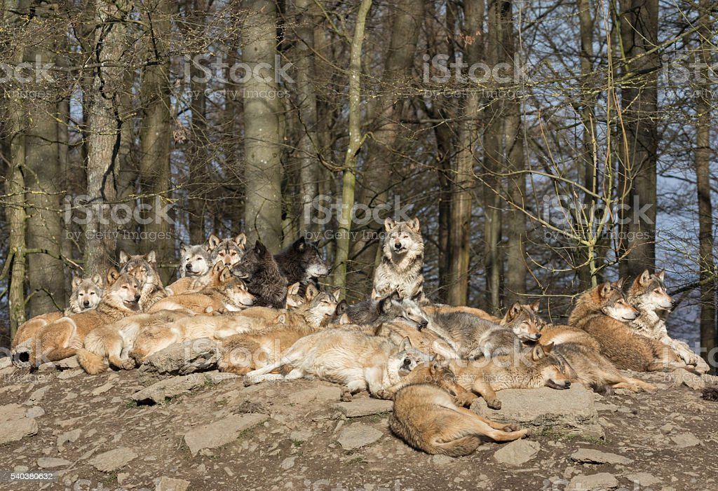Resting Wolf Pack stock photo