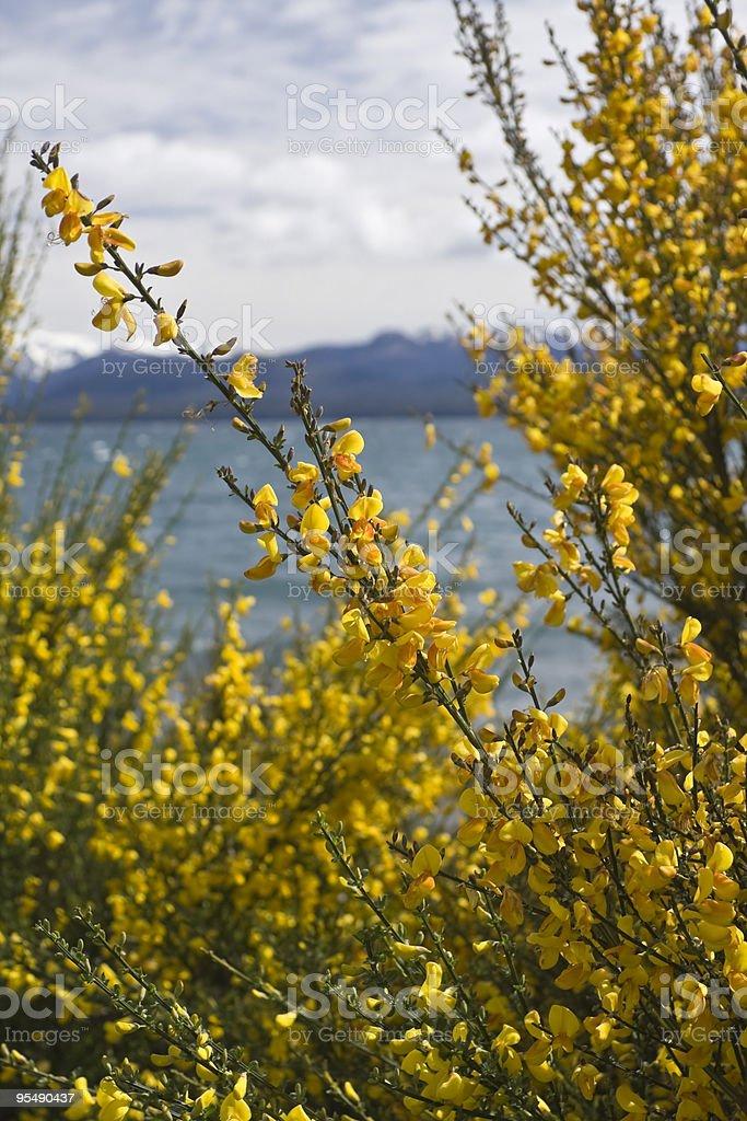 'Retamas' flowers stock photo