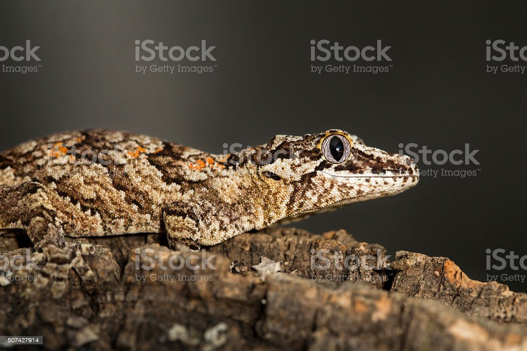 Reticulated Gargoyle gecko on a branch stock photo