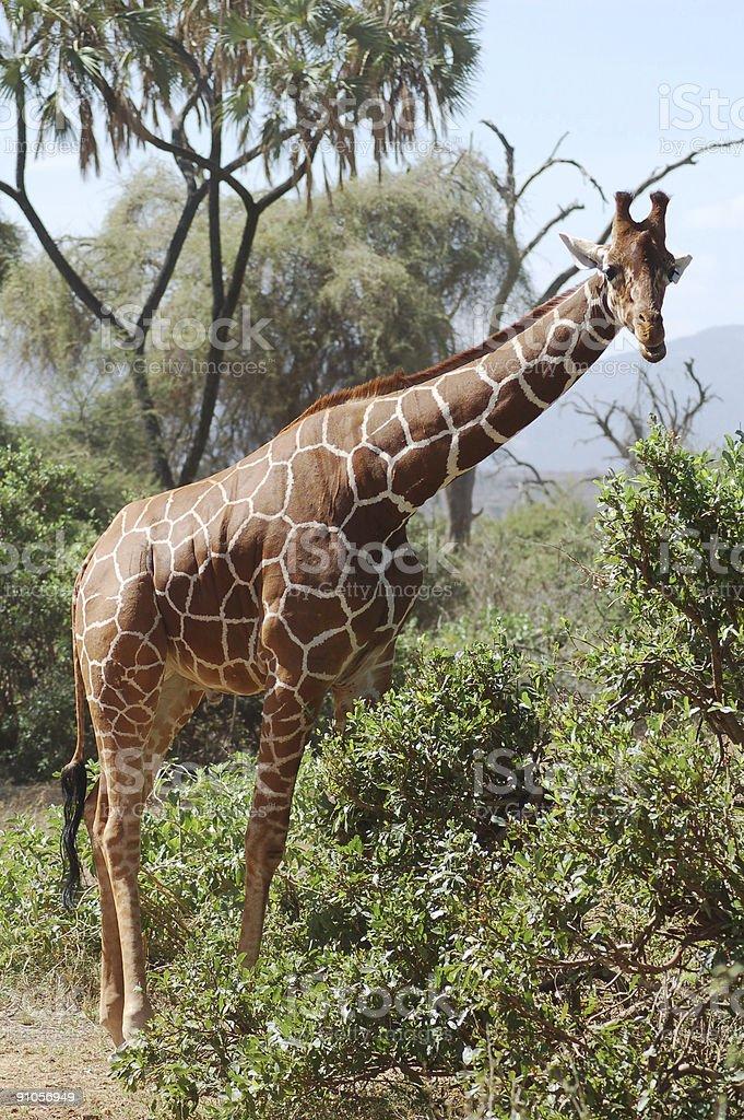 Reticulated giraffe, Kenya royalty-free stock photo