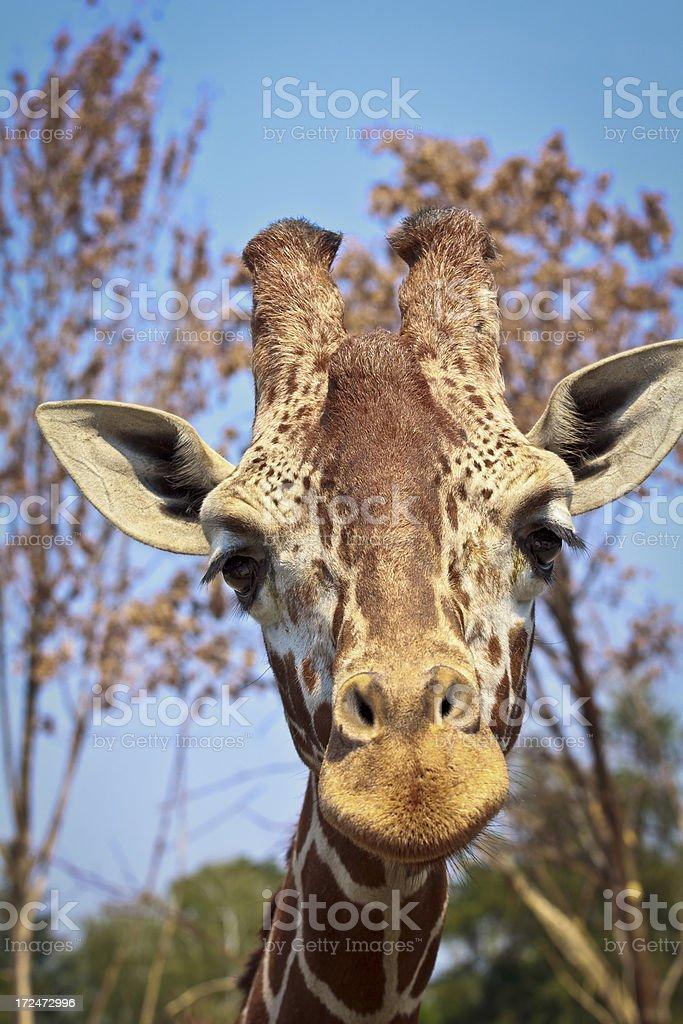 Reticulated giraffe royalty-free stock photo