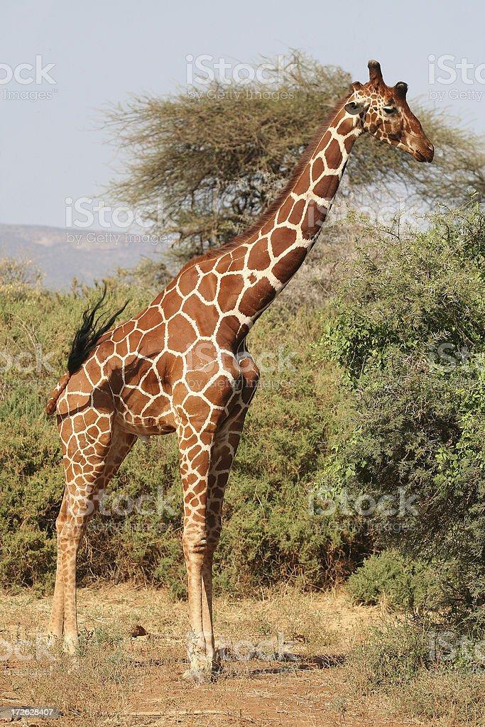 Reticulated Giraffe (Giraffa camelopardalis reticulata) royalty-free stock photo