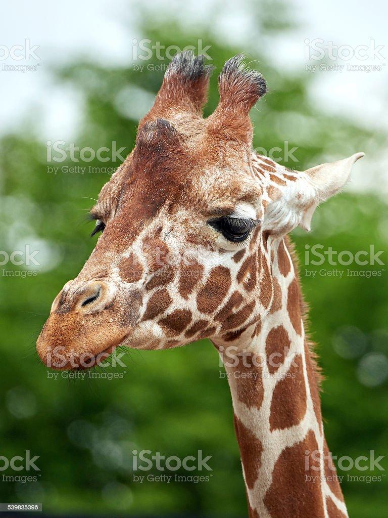 Reticulated giraffe (Giraffa camelopardalis reticulata) stock photo
