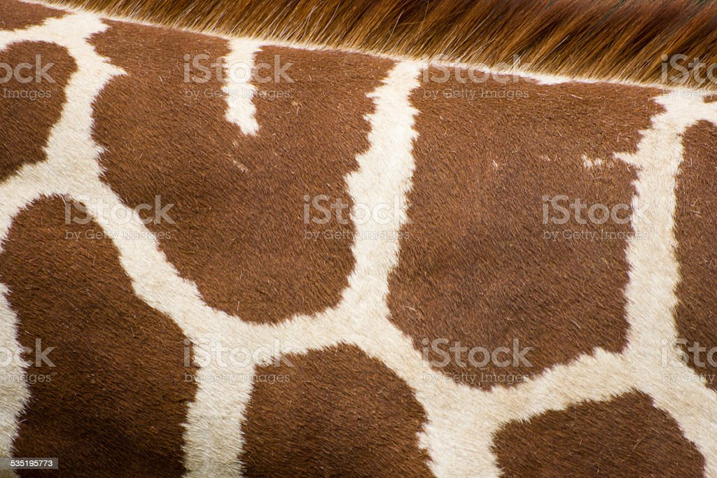 Reticulated giraffe skin stock photo