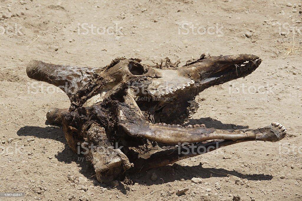 Reticulated giraffe skull stock photo