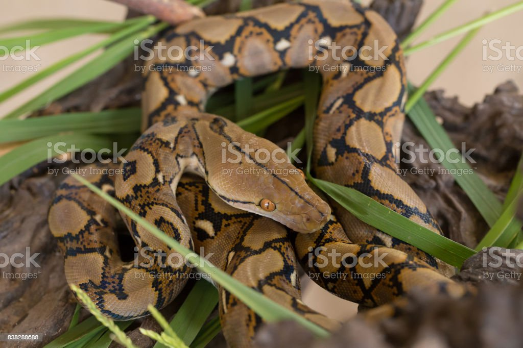 Reticulated python, Boa constrictor snake on tree branch stock photo