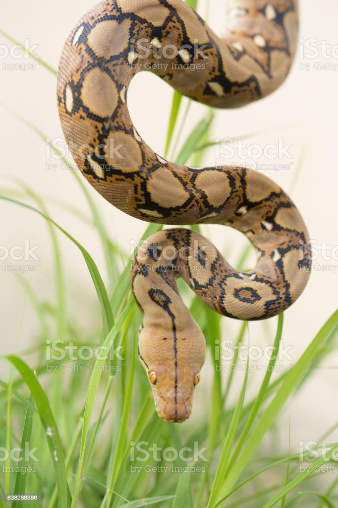 Reticulated python, Boa Snake in the grass, Boa constrictor snake on tree branch stock photo