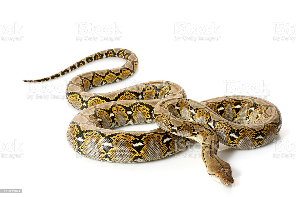 Reticulated python curled up on a white background royalty-free stock photo