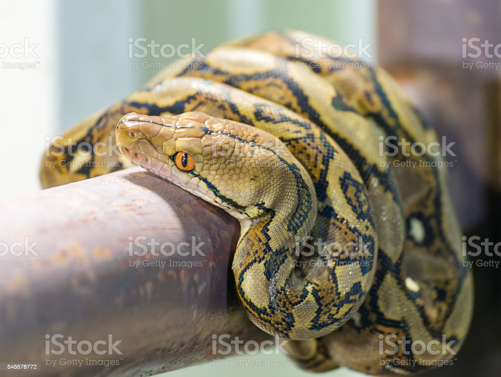 Reticulated python on house fence, close up stock photo